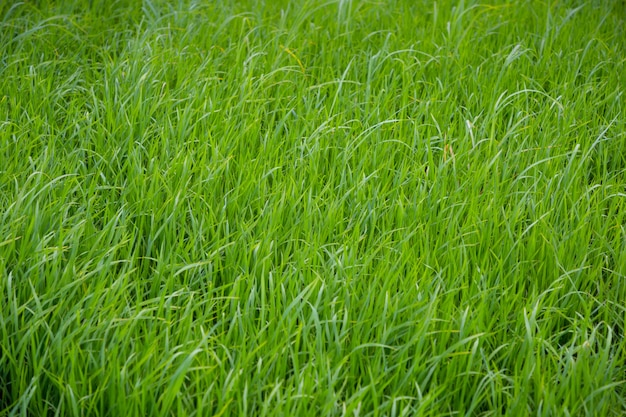 Close up of green rice field grow in paddy farm