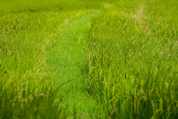 Close-up of green rice field