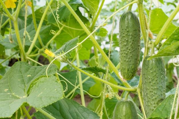 温室の茂みにある緑の熟したキュウリのクローズアップ。庭で育つキュウリ。