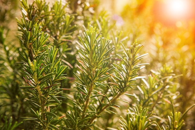 Close up of green rosemary leaves in agriculture plantation