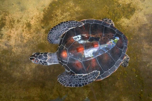 Close up of green sea turtle or chelonia mydas