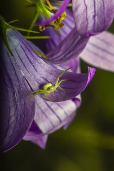 Close up of green spider on purple flower