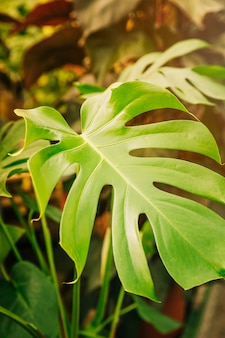 Close-up of green swiss cheese plant