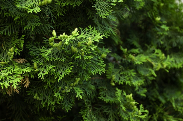 Close up of green thuja branches. coniferous plant