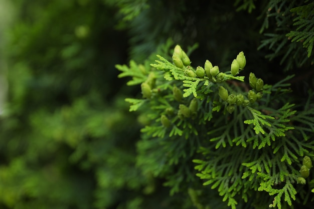 Close up of green thuja branches