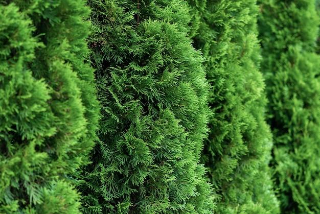 Close up of green thuja bushes