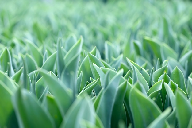Close up of green tulips leaves on field