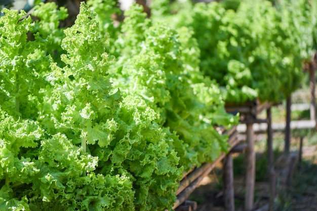Close up of green vegetable salad in the garden background - fresh lush lettuce leaves background on herbal farm