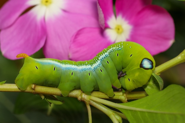 Close up green worm or daphnis neri worm in nature and enviroment have pink flower