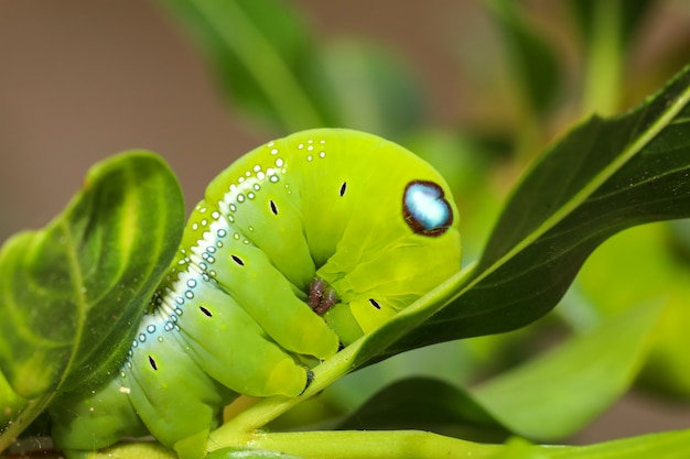 Close up green worm or daphnis neri worm in nature and enviroment