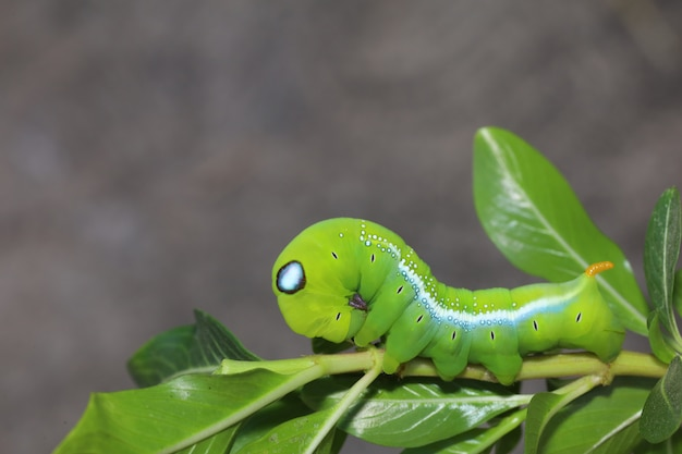 Close up  green worm or daphnis neri worm on the stick tree in nature and enviroment