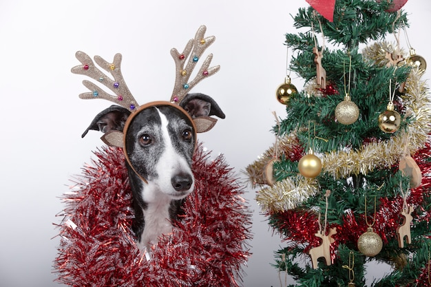 Close-up of greyhound breed dog with reindeer antlers and garlands around the body and christmas tree.