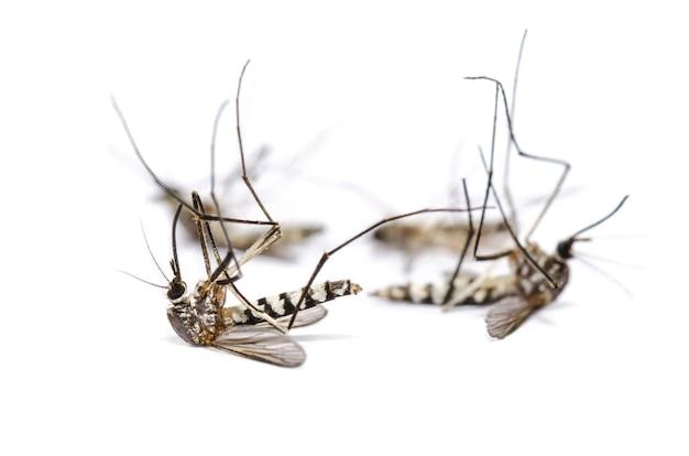 クローズアップグループヒトスジシマカ、ヒトスジシマカ、タイガーモスキートとしてのアジア、フォレストモスキート、白い背景で分離された4つの死んだ蚊、昆虫キャリアマラリア、デング熱、ジカチクングニア熱