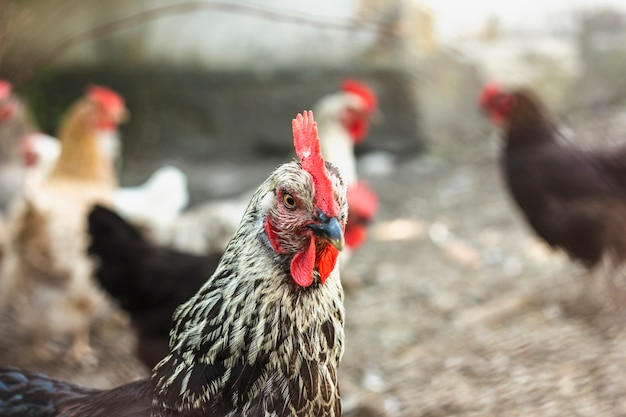 Close-up group of domestic chickens at farm