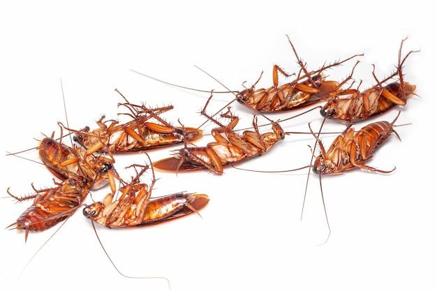 Крупным планом группа мертвых тараканов таиланд на белом фоне