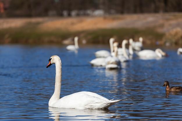 봄에 백조 무리를 닫으세요, 아름다운 물새 무리 봄에 호수에 있는 백조 새, 호수 또는 백조가 있는 강