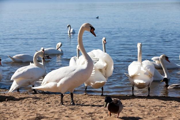 春の白鳥のグループ、美しい水鳥のグループをクローズアップ春の湖、湖または白鳥と川の白鳥の鳥