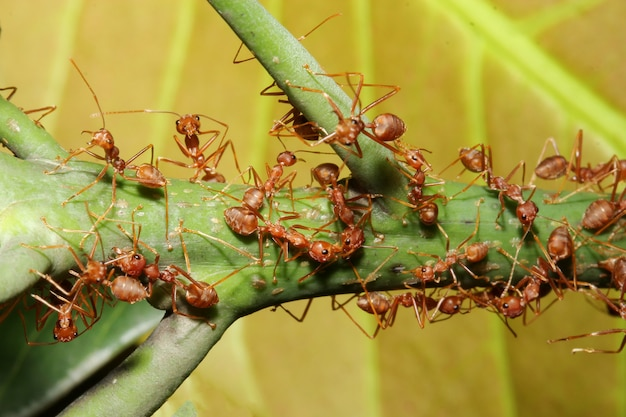Close up group red ant on green laef in nature