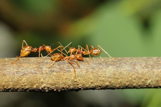 자연에서 막대기 나무에 그룹 붉은 개미를 닫습니다