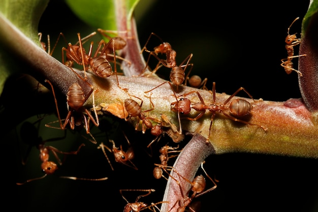 Close up group red ant on stick tree in nature