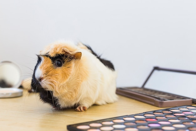 Close-up of guinea with eyeshadow palette on wooden desk against white backdrop