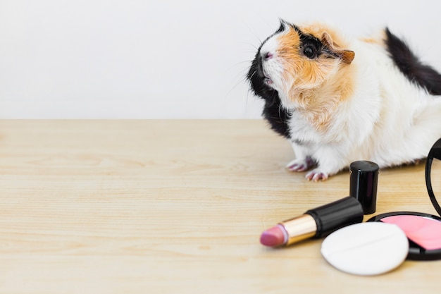 Close-up of guinea with lipstick and blusher with sponge on wooden desk