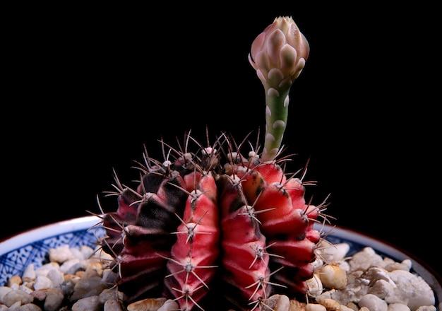 暗い背景に対して植木鉢でギムノカリキウムサボテンをクローズアップ