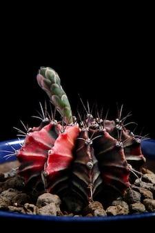 植木鉢の若い花とギムノカリキウムサボテンを閉じる