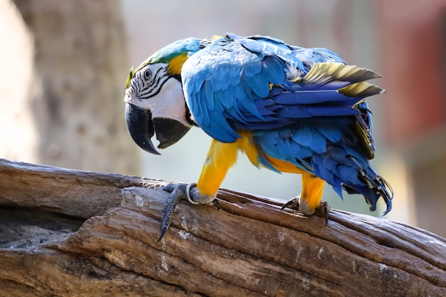 Close up haed the blue and yellow macaw parrot bird in garden at thailand.