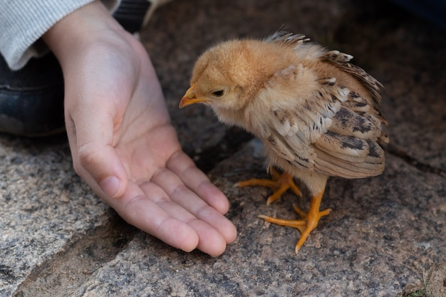 Close up hand of a child taking care of a cute small chick. baby chicken.