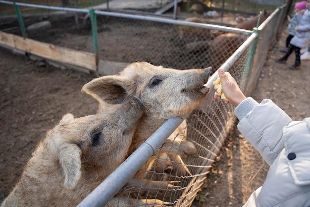 Close up hand feeding pigs