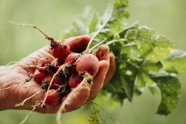 Close-up hand holding fresh radishes