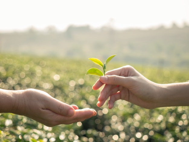 Close up of hand holding a fresh tea leaf and giving tea leaf