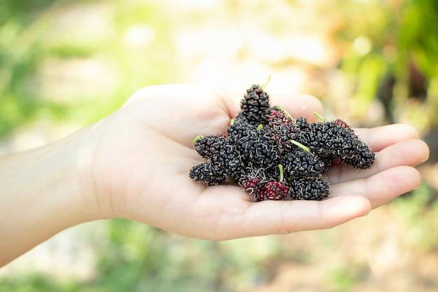 Закройте вверх руки, держащей свежих фруктов шелковицы с зелеными листьями, тайскими фруктами.