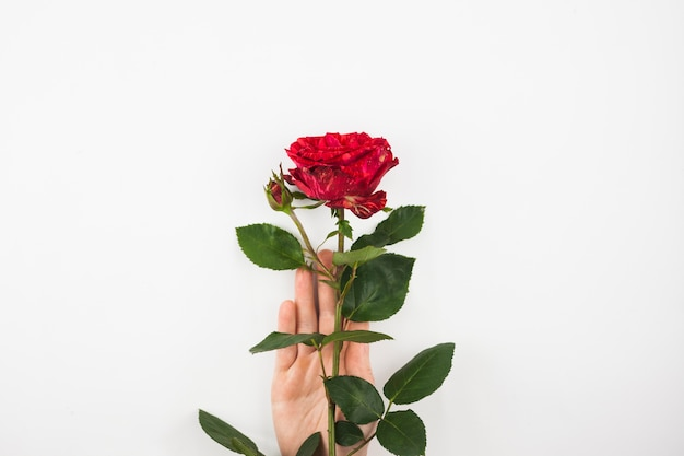 Close-up of hand holding red rose against white background