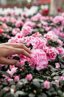 Close-up hand touching pink flower