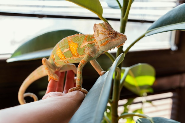 Close up hand with chameleon