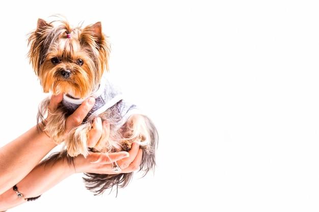 Primo piano delle mani che tengono cane amichevole su fondo bianco