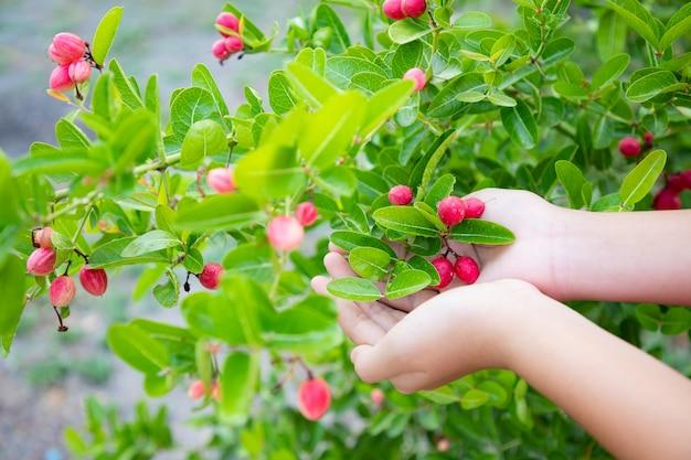 Крупным планом, руки женщины, держащей бенгальскую смородину на ярко-зеленом стволе. плод помогает устранить усталость организма благодаря богатому витамину с и калию.