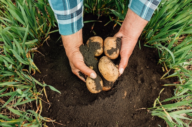 Close up the hands of a senior farmer hold potatoes in his hands.young yellow potato on black ground,