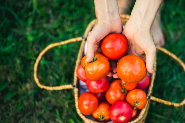 Close up hands with natural eco organic tomatoes in basket on grass