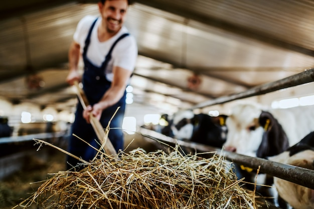 Close up of handsome caucasian farmer in overall feeding calves with hay. stable interior.