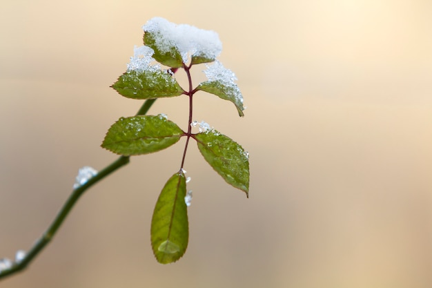 Close-up of hanging down rose branch with small wet green leaves covered with snow on bright blurred sunny