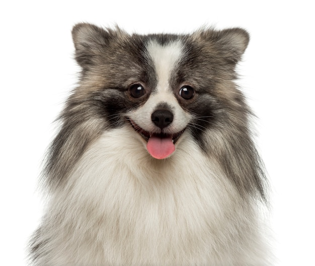 Close up of a happy german spitz smiling