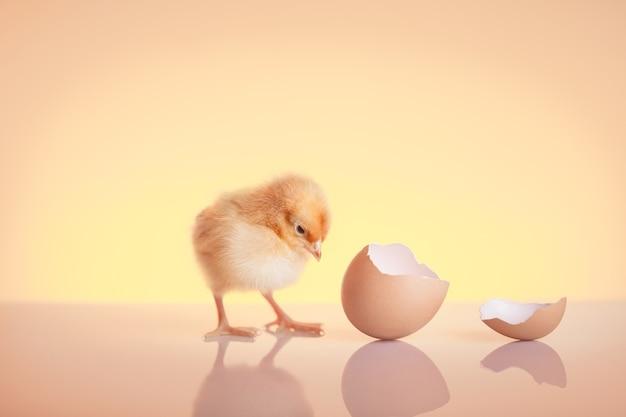 Primo piano piccolo pollo covato