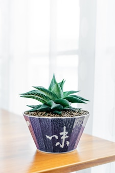 Close up haworthia limifolia in ceramic pot on table