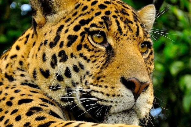 A close up of the head of an adult jaguar in the amazon rainforest