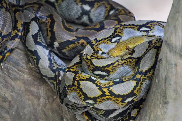 Close up head big burmese python snake in body on stick tree at thailand