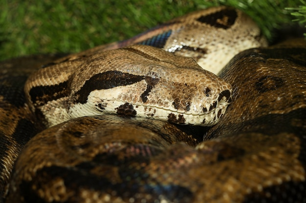 Close up head boa constrictor snake