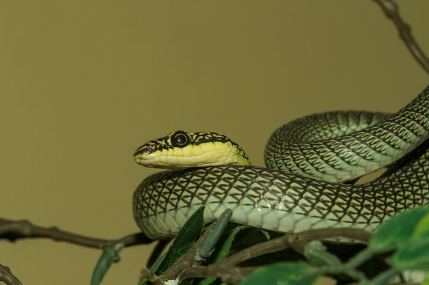 Close up head chrysopelea ornata snake